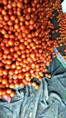 山东省临沂市沂水县大红西红柿 通货 弧二以上 大红