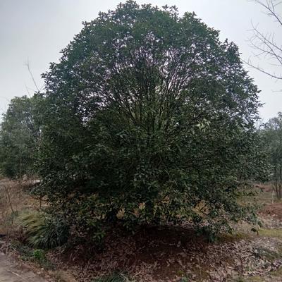 江苏省桂花树