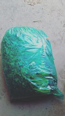 山东省潍坊市坊子区大叶香菜 25~30cm