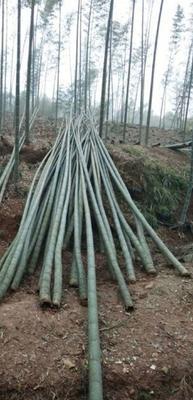 重庆涪陵区楠竹