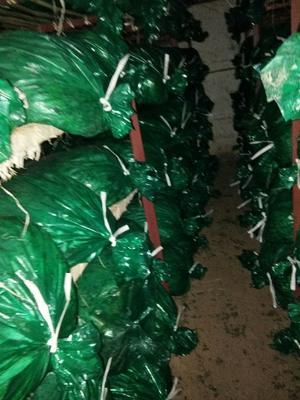 山东省泰安市岱岳区大叶香菜 35cm以上