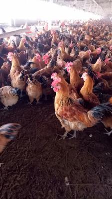 江苏省徐州市铜山区大红公鸡 3-4斤 公
