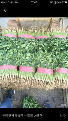 辽宁省锦州市凌海市铁杆青香菜 25~30cm