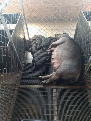 山西省晋中市榆次区黑猪 200-300斤