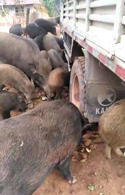 湖南省怀化市鹤城区特种野猪 统货 160-200斤