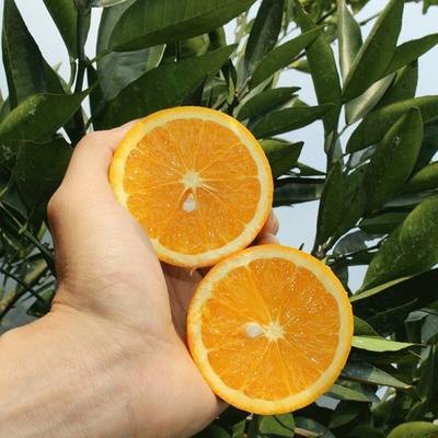 这是一张关于金堂夏橙  60 - 65mm 4两以下 年末特惠买8斤送2斤的产品图片
