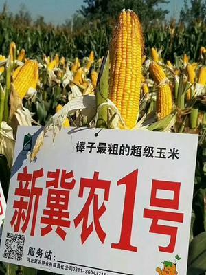 河北省石家庄市裕华区冀农1号玉米种 自交系 ≥97%
