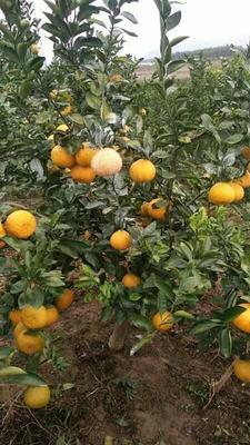 这是一张关于黄金柑 7 - 7.5cm 5两以上 的产品图片