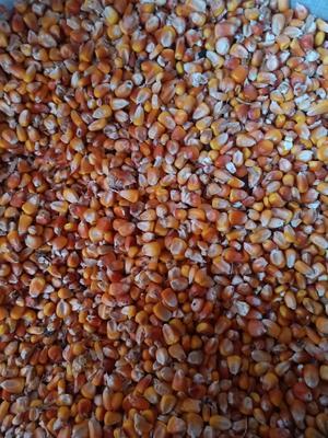 黑龙江省齐齐哈尔市讷河市玉米湿粮 毛货 水份17%-20%