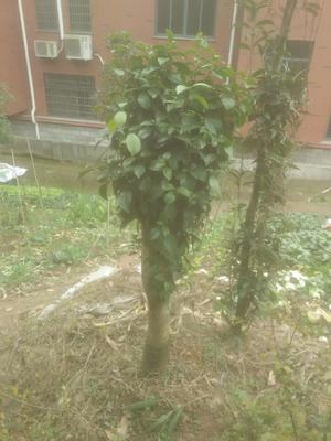 浙江省绍兴市新昌县茶花树 140cm以上