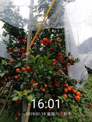 广西壮族自治区柳州市鹿寨县沙糖桔 统货 1.5 - 2两