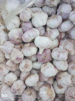 山东省青岛市莱西市紫皮大蒜 6cm以上 多瓣蒜