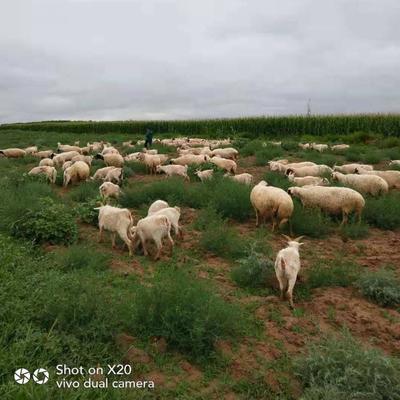 宁夏回族自治区吴忠市红寺堡区山羯羊 30-50斤