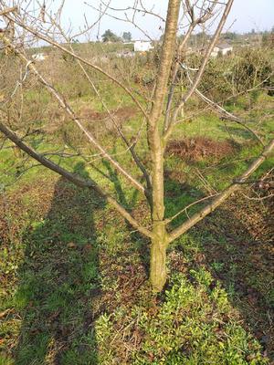 四川省眉山市东坡区玛瑙红樱桃树苗