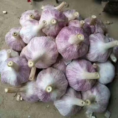 这是一张关于金乡大蒜 6cm以上 多瓣蒜 的产品图片