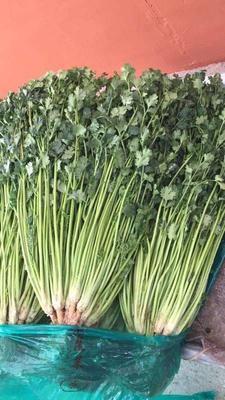 山东省青岛市平度市大叶香菜 35cm以上