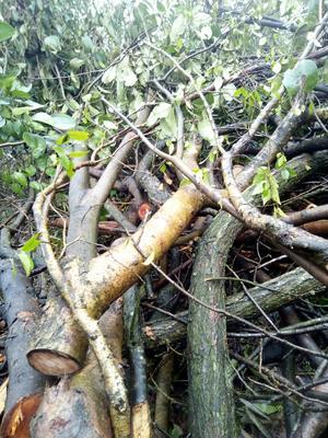 这是一张关于女贞子  大树的产品图片