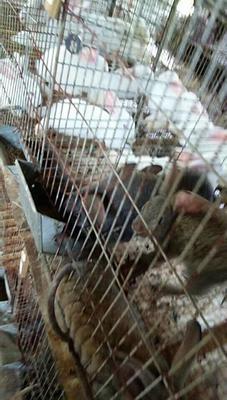 广西壮族自治区来宾市忻城县比利时兔 1.3斤