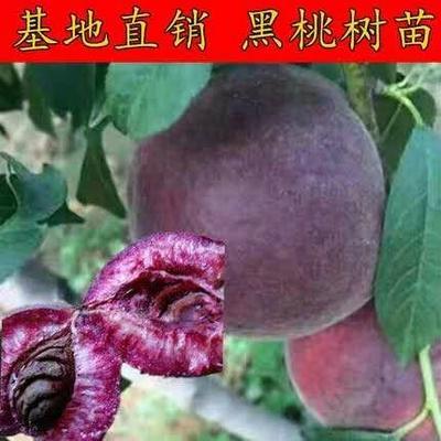 这是一张关于黑桃苗 1.5~2.0米 的产品图片