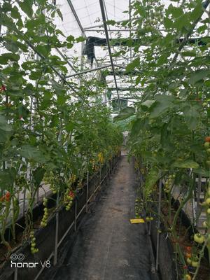 广东省广州市增城区樱桃番茄 精品 弧一以下 大红
