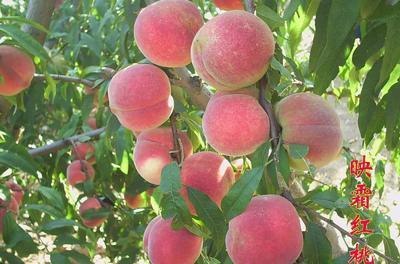 这是一张关于映霜红桃苗 1.5~2.0米 的产品图片