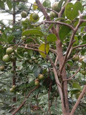 广西壮族自治区河池市环江毛南族自治县油茶籽