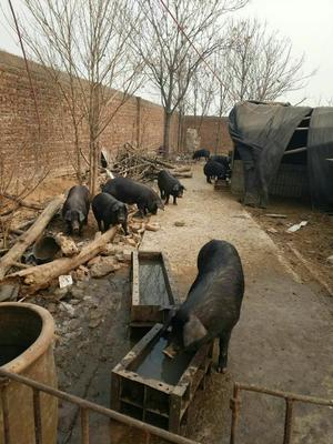 这是一张关于黑猪 200-300斤 的产品图片