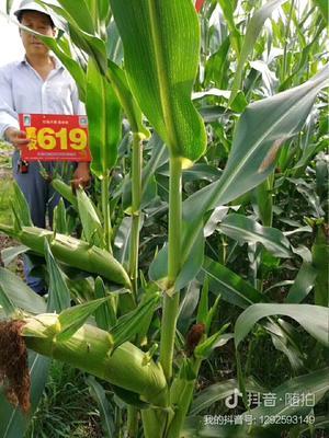 河北省石家庄市裕华区冀农619玉米种 自交系 ≥97%
