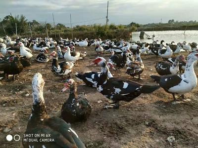 这是一张关于西洋鸭苗 花边番的产品图片