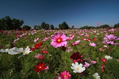 这是一张关于波斯菊种子 的产品图片
