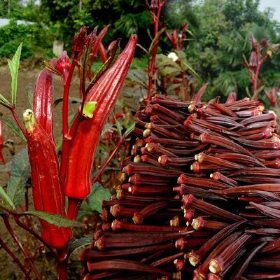 这是一张关于红秋葵种子 原种 的产品图片