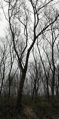 江苏省常州市武进区重阳木