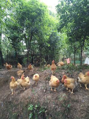 这是一张关于良凤花鸡 5-6斤 母 的产品图片