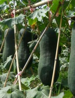 广东省广州市花都区黑皮冬瓜 20~30斤 吊冬瓜