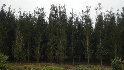 广西壮族自治区桂林市全州县罗汉松