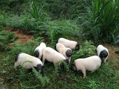 江西省抚州市黎川县巴马香猪 40-60斤