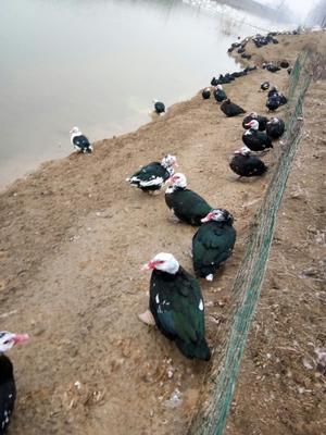 安徽省蚌埠市怀远县番鸭 8-9斤 公 全散养