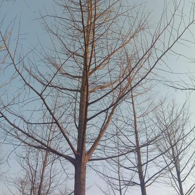 江苏省银杏实生树