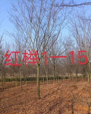 江西省九江市九江县红榉  1一15公分