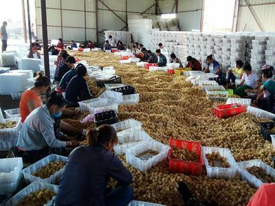 黑龙江省绥化市海伦市黄菇娘果原种子