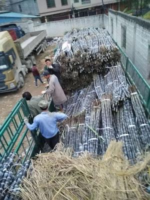 贵州省黔南布依族苗族自治州长顺县黑蔗 3 - 4cm 7m