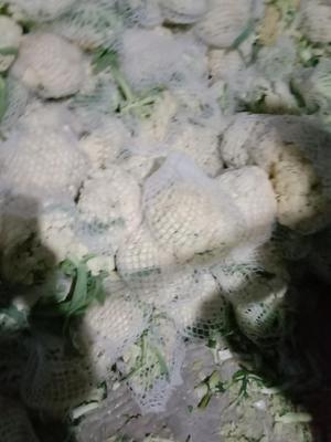 山东省济宁市金乡县白面青梗松花菜  适中 2~3斤 冷库货,库外结束