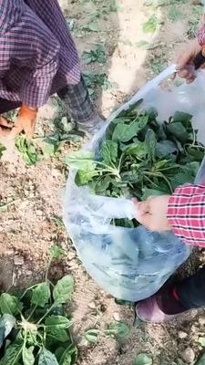 陕西省西安市临潼区圆叶菠菜 10~15cm