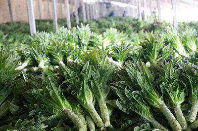 这是一张关于红叶莴笋 1.5~2.0斤 50-60cm 的产品图片