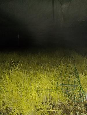 这是一张关于蒜黄 40 - 45cm 的产品图片