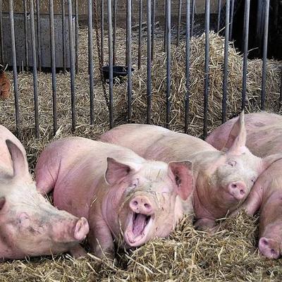 江西省上饶市上饶县长白猪 200-300斤