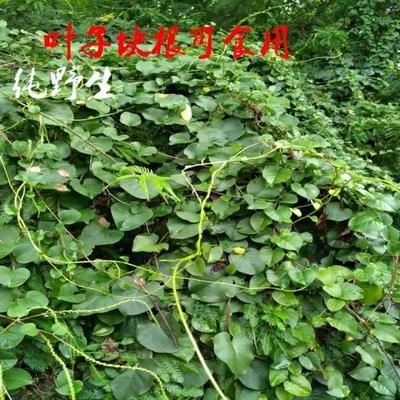 这是一张关于藤三七种苗 的产品图片