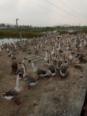 广东省惠州市惠东县狮头鹅 12斤以上 统货 全散养