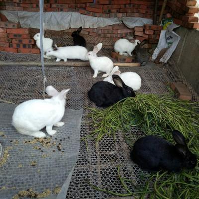 重庆永川区草兔 5斤以上