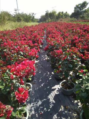 福建省漳州市龙海市潮州红三角梅 0.5~1.0米